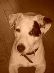 Douggy, chien Jack Russell Terrier