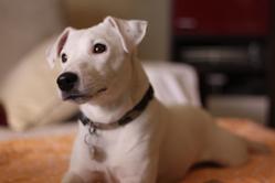 Diezel, chien Jack Russell Terrier