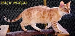 Iliria, chat Bengal