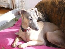 Djinn, chien Petit Lévrier italien