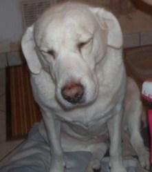 Pitchoune, chien Labrador Retriever