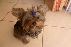 Frimousse, chien Yorkshire Terrier