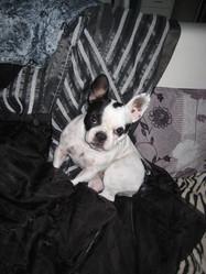 Shaina, chien Bouledogue français