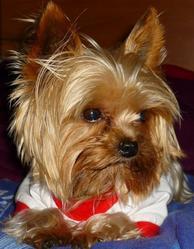 Ulysse, chien Yorkshire Terrier