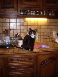 Pépito, chat Gouttière