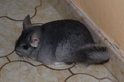 Perle, rongeur Chinchilla