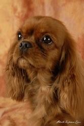 Eden Du Mont Berrue, chien Cavalier King Charles Spaniel