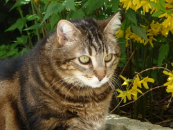 Satine, chat Gouttière