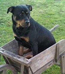 Kalya, chien Rottweiler