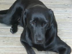 Alfie, chien Labrador Retriever