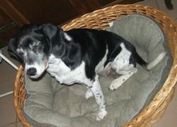 Riviéra, chien Épagneul breton