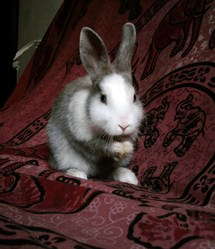 Gizmo, rongeur Lapin
