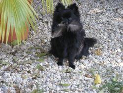 Ebène De Forlhand, chien Spitz allemand