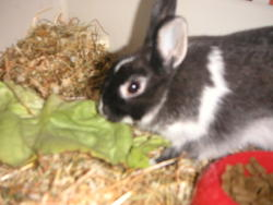 Clover, rongeur Lapin