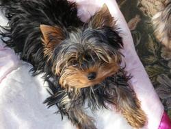 Bimini, chien Yorkshire Terrier