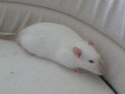 Dexter, rongeur Rat