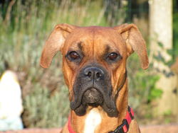 Caissy, chien Boxer