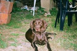 Laika, chien Braque allemand à poil court