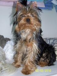 Elise, chien Yorkshire Terrier