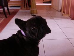 Enza, chien Bouledogue français
