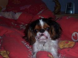 Casper, chien King Charles Spaniel
