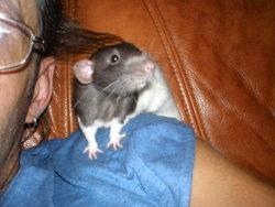 Gédéon, rongeur Rat