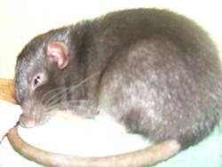 Dita, rongeur Rat