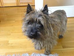 Hugo, chien Cairn Terrier