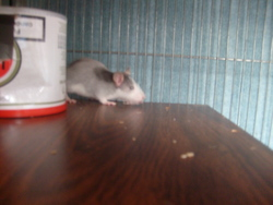 Ina, rongeur Rat