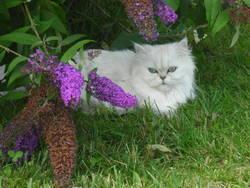 Aglaée, chat Persan