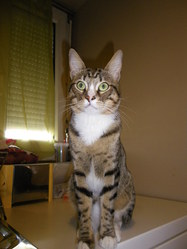 Caprice, chat Européen