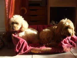 Pounky, chien Caniche