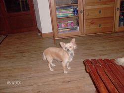 Émeline, chien Chihuahua