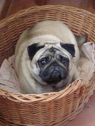 Domyno, chien Carlin