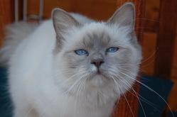 Déesse, chat Birman