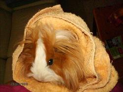 Biscotte, rongeur Cochon d'Inde