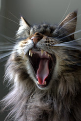 Bounty, chat Maine Coon