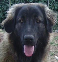Darnia, chien Chien de montagne portugais