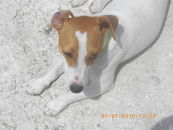 Etoile , chien Jack Russell Terrier