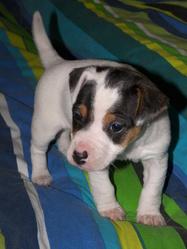 Goldie, chien Jack Russell Terrier