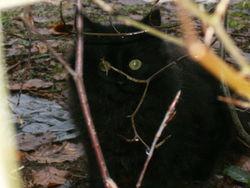 Kitty, chat Européen