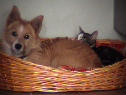 Chouky, chien Podenco portugais