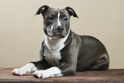Fiona, chien American Staffordshire Terrier