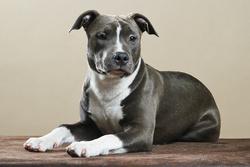 Fiona, chien American Staffordshire Terrier
