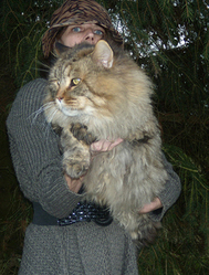 Osaka, chat Maine Coon
