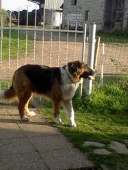 Babette, chien Bouvier bernois