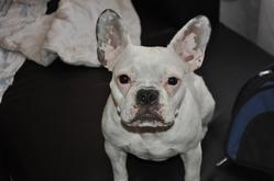 Edelweiss, chien Bouledogue français