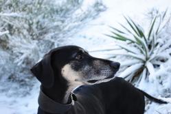Adji, chien Sloughi