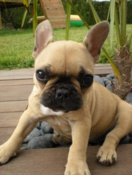 Enola, chien Bouledogue français