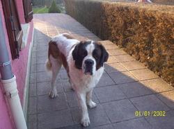 Dagobert , chien Saint-Bernard